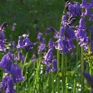 English Blue Bell