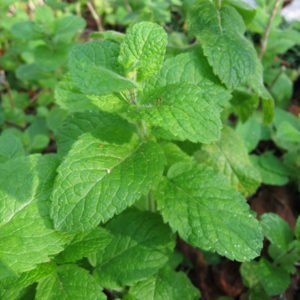Herb Mint Egyptian Round Leaf