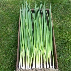 Onion Bunching (Salad) Ishikura Organic