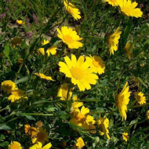Corn Marigold Glebionis Segetum
