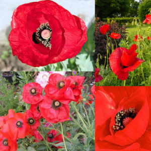 Papaver Glaucum Tulip / Turkish Poppy