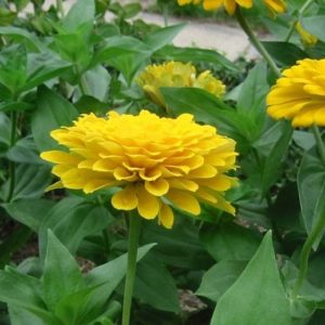 Zinnia Giant Canary Bird
