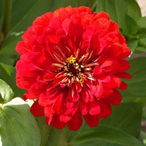 Zinnia Giant Cherry Queen