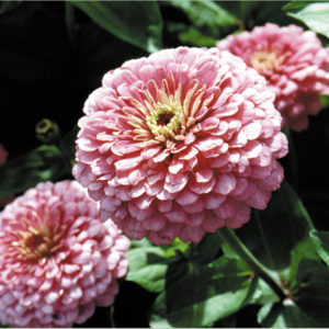 Zinnia Giant Luminosa