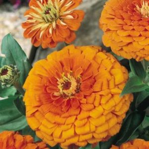 Zinnia Giant Orange King