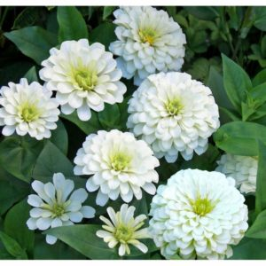 Zinnia Giant Polar Bear
