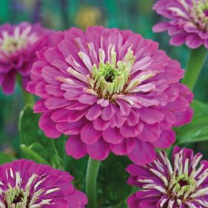 Zinnia Giant Purple Prince