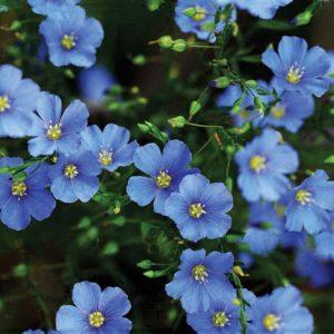 Linum Perenne Blue Flax