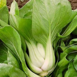 Cabbage Pak Choi White Stem