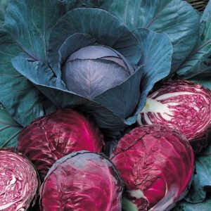 Cabbage Red Drumhead Organic