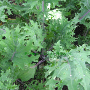 Kale Borecole Heirloom Red Russian 2Gm Organic