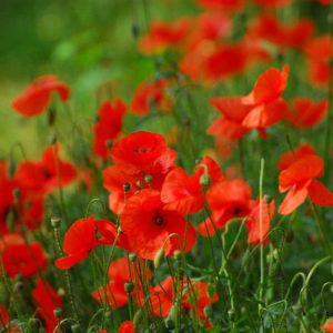 Corn Red Field Poppy Flanders Papaver Rhoeas