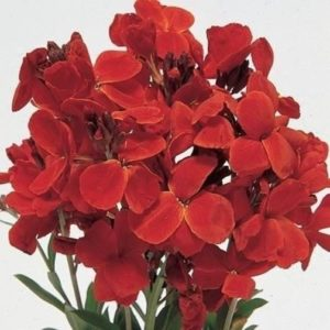 Wallflower English Fire King