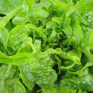 Lettuce Green Oakleaf