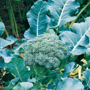 Broccoli Calabrese Early Green Sprouting Organic