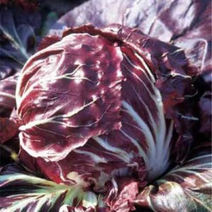 Chicory Red Ball Averto (Med To Late)
