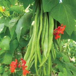 Runner Bean Scarlet Emperor Organic
