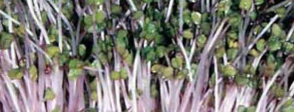 Sprouting Pink Kale Seeds Organic