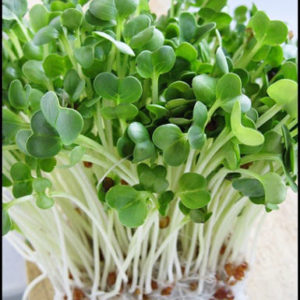 Organic Sprouting Seeds Radish Daikon / White