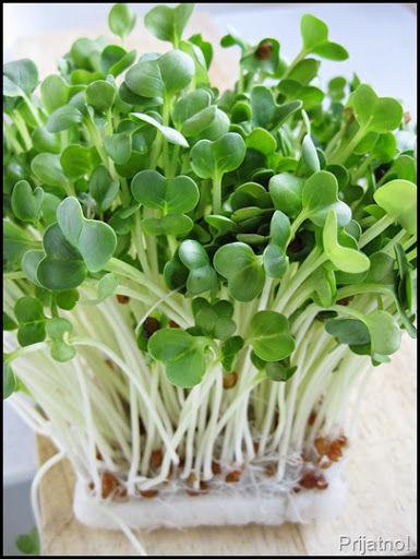 Organic Sprouting Seeds Radish Daikon / White