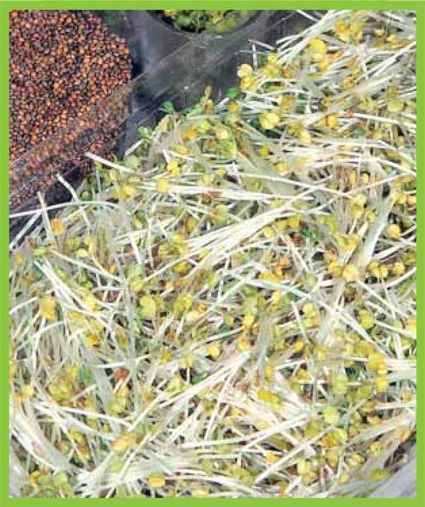 Organic Sprouting Seeds Rocket Cultivated