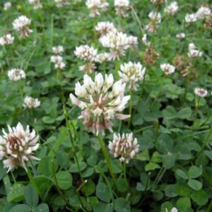Green Manure White Clover