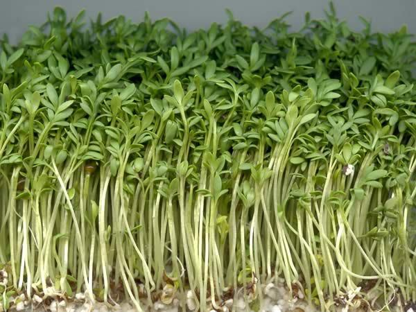 Cress Plain / Curled / Common