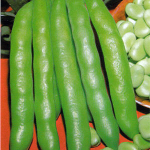 Broad Bean Grano Violetto Winter Hardy