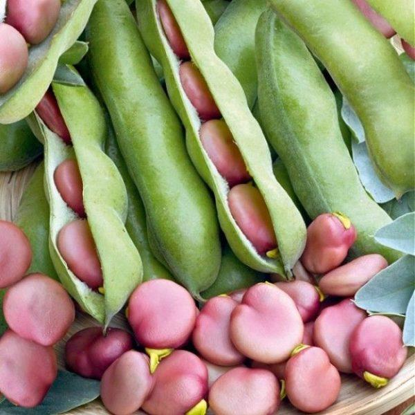 Broad Bean Pink Karmazyn