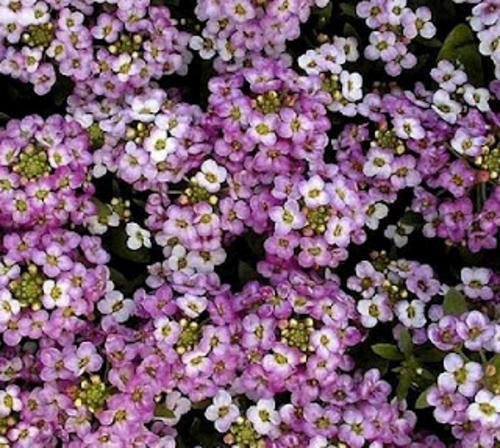 Alyssum Royal Carpet Flowers Alyssum Premier Seeds