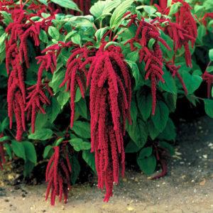 Amaranthus Caudatus Red