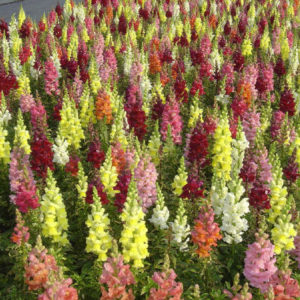 Antirrhinum Snapdragon Tetra Mixed