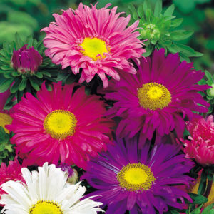 Aster China Single Mixed