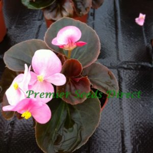 Begonia Semperflorens Devil Rose