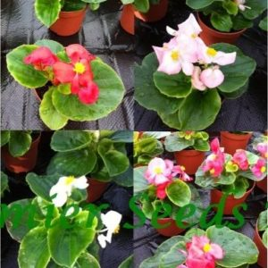 Begonia Semperflorens Heaven Mix F1