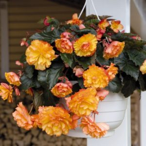 Begonia Tuberous Illumination Golden Picotee F1