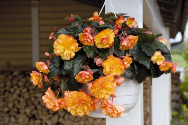 Begonia Tuberous Illumination Golden Picotee F1