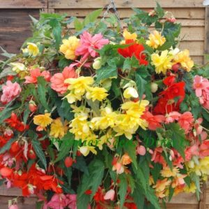 Begonia Tuberous Illumination Mixed F1