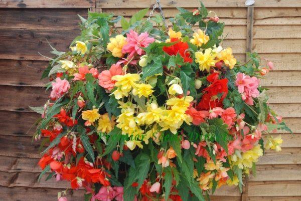 Begonia Tuberous Illumination Mixed F1