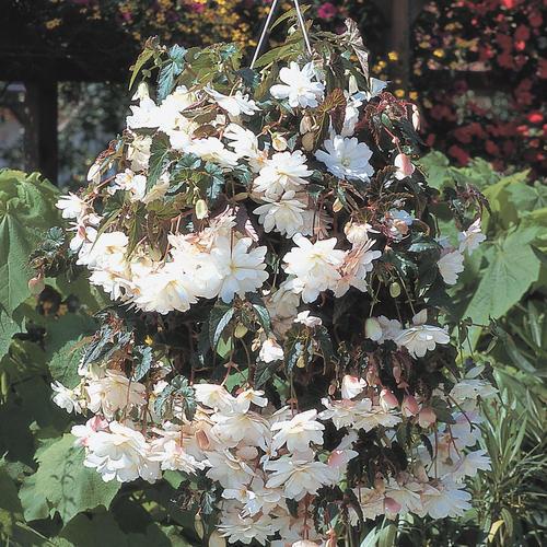 Begonia Tuberous Illumination White F1
