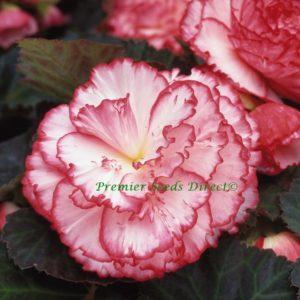 Begonia Tuberous Non Stop Rose Petticoat F1