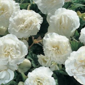 Begonia Tuberous Non Stop White F1