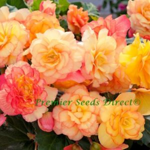 Begonia Tuberous On Top Sunset Shades