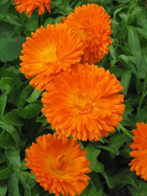 Calendula Orange King