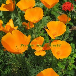 California Poppy Golden West