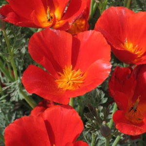 California Poppy Mikado