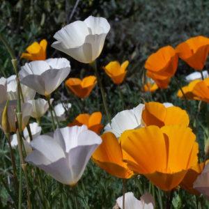 California Poppy Single Mix
