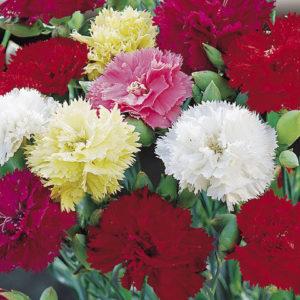 Carnation Chabaud Mixed