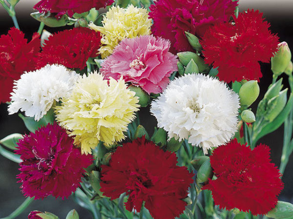 Carnation Chabaud Mixed