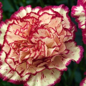 Carnation Double Striped